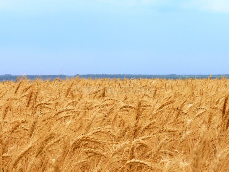 field1麦子 库存图片