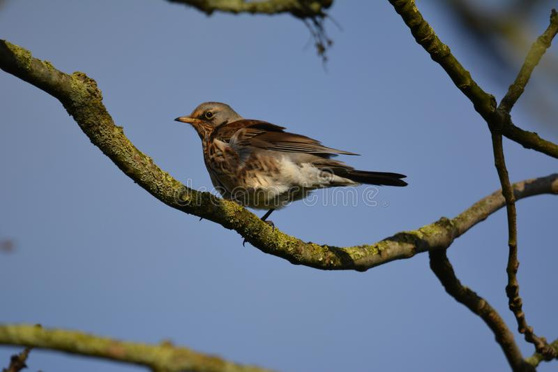 Fieldfare on a branch in the netherlands. Fieldfare sitting on a branch nlocation: Gein in Abcoude the netherlands stock photos
