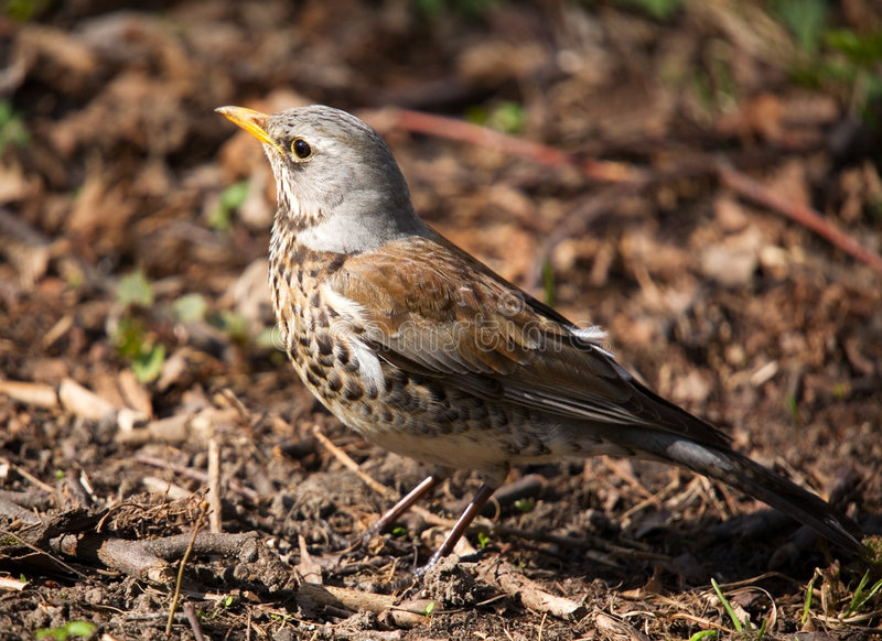 Download Fieldfare Close-up Stock Photography - Image: 2308832