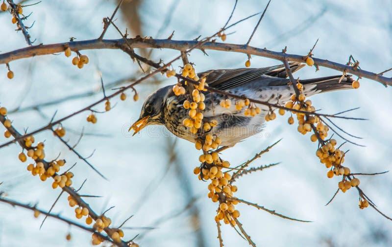 Fieldfare eating sea buckthorn on the branch in winter. Fieldfare holds in its beak a berry of sea buckthorn sitting on the branch stock photography