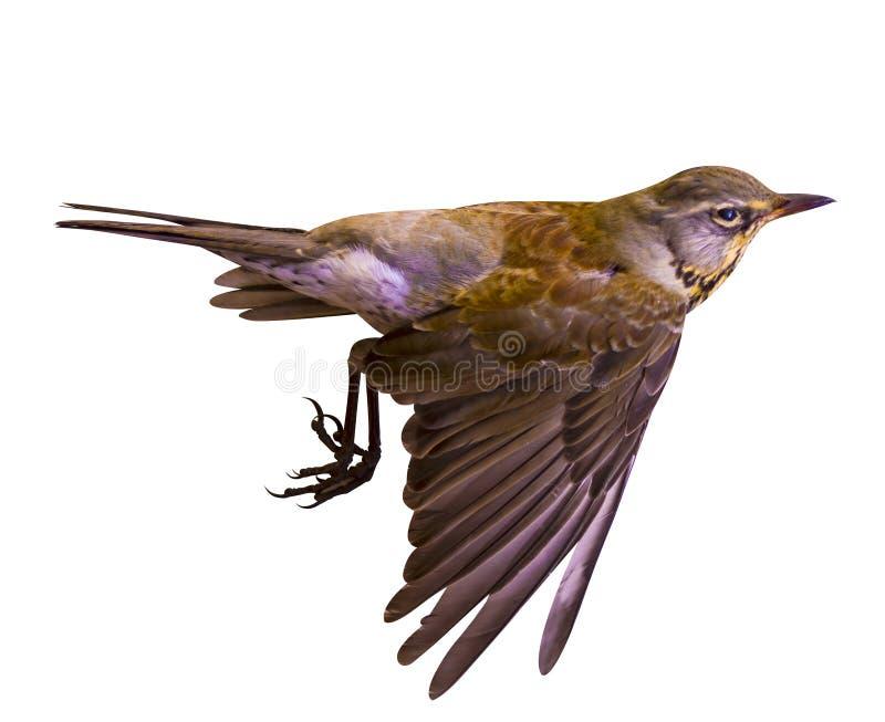 Fieldfare. Fieldfare isolated on white background. small bird. b stock image