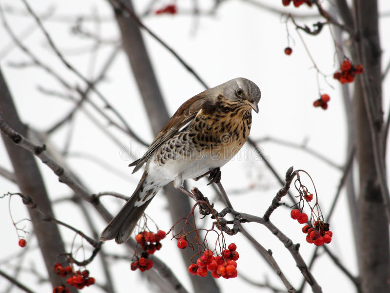 Fieldfare sitting on mountain ash stock photo