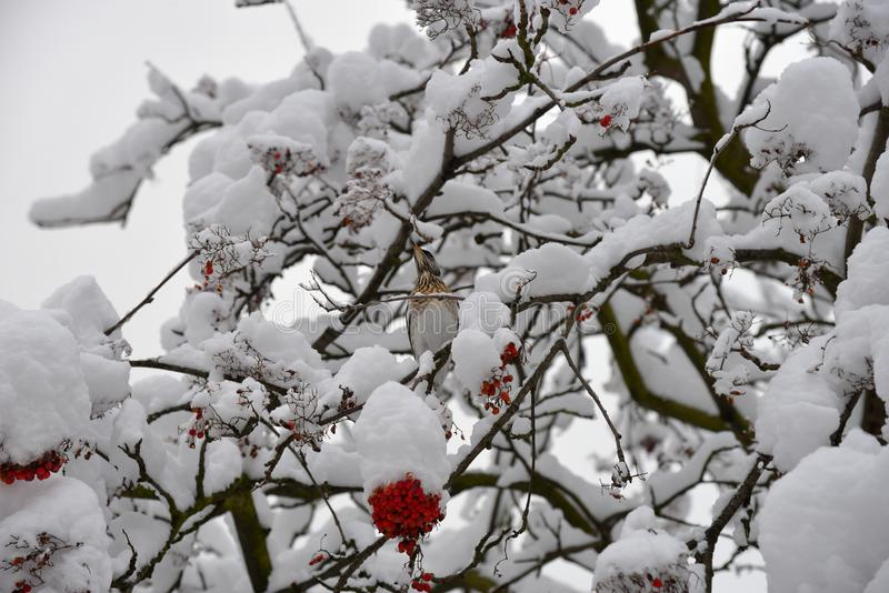 Fieldfare, or snowbird Turdus pilaris on snow-covered branches of mountain ash with berries threatening. In winter royalty free stock photo