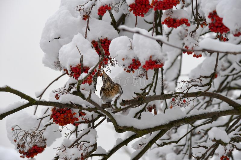 Fieldfare, or snowbird Turdus pilaris on snow-covered branches of mountain ash with berries threatening. In winter stock photos