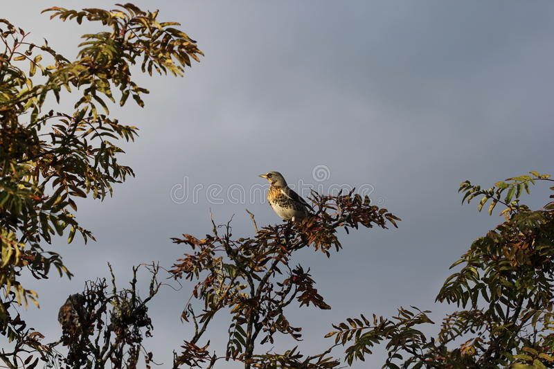 Fieldfare in the sunset stock image