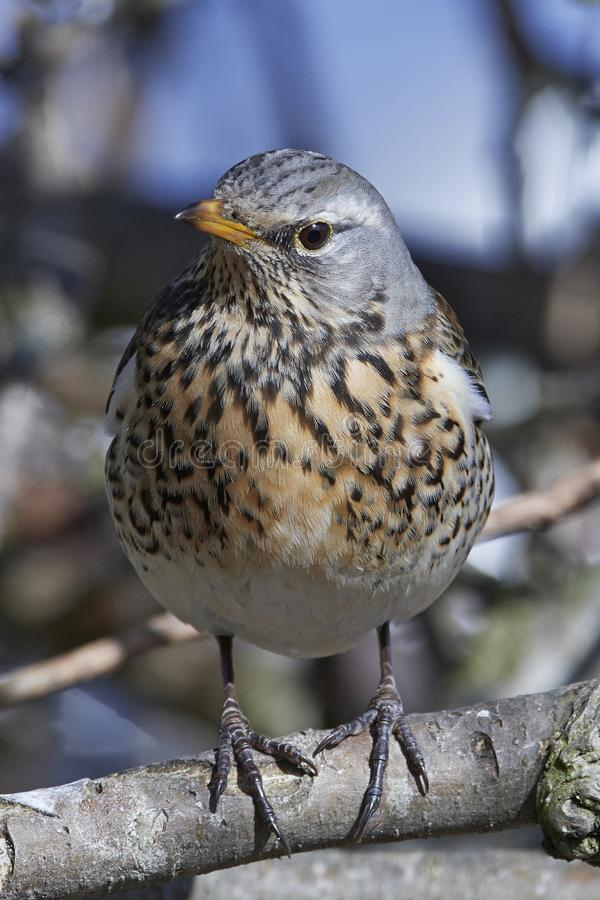 Fieldfare Turdus pilaris stock photo