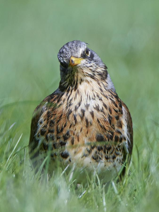 Fieldfare Turdus pilaris royalty free stock photography