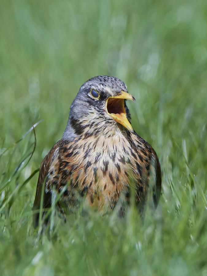 Fieldfare Turdus pilaris stock photography