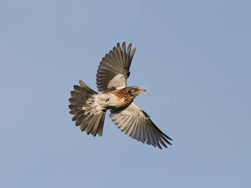 Fieldfare (turdus pilaris) stock photo
