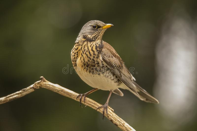 Fieldfare, Turdus pilaris. Migrant bird royalty free stock images