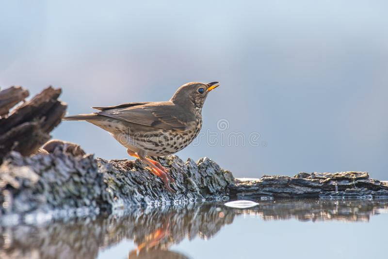 Fieldfare Turdus pilaris, in the natural habitat royalty free stock photo