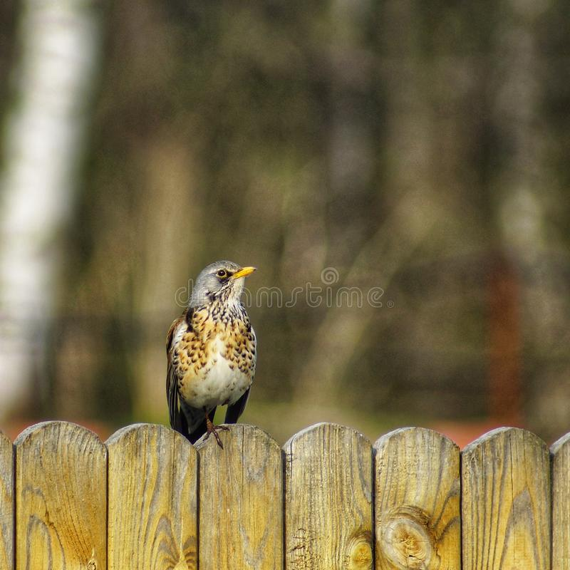 Fieldfare Turdus pilaris sitting on grass in early spring looking for food. Cute common funny thrush. Bird in wildlife. stock image