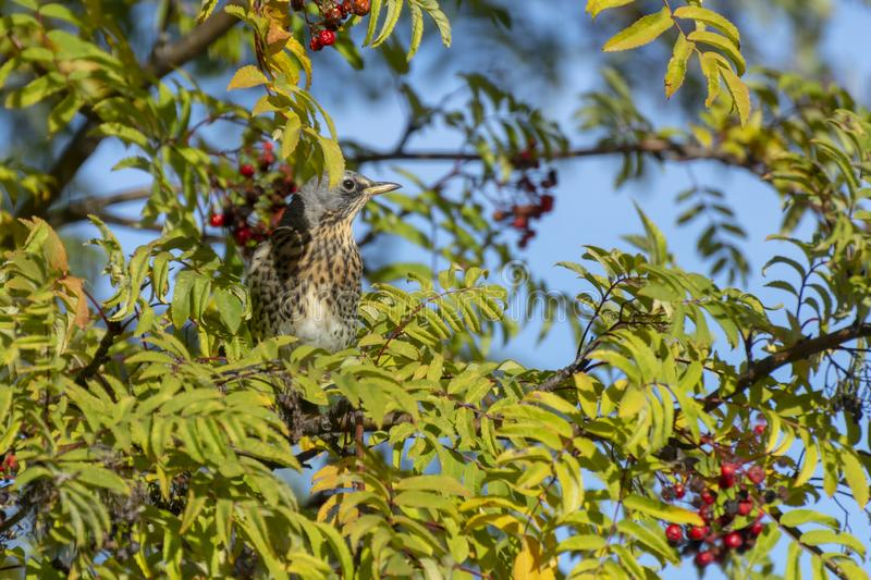Bird sitting in a mountain-ash, picture from Northern Sweden. Fieldfare Turdus pilaris sitting in a mountain-ash Sorbus aucuparia with blurred background royalty free stock photography