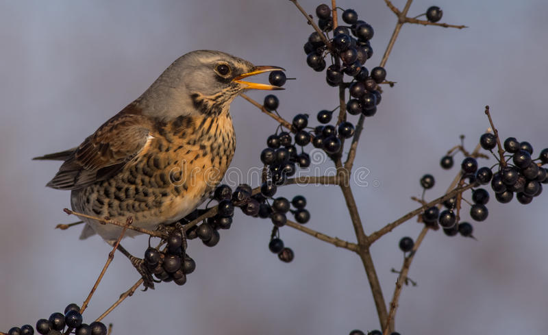 Fieldfare - Turdus pilaris stock images