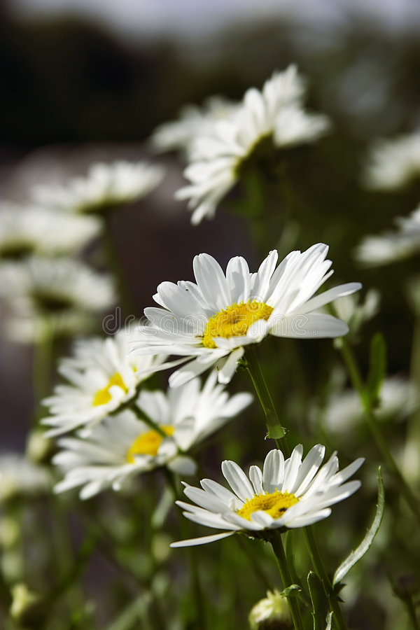 Fieldflowers (camomille) images stock