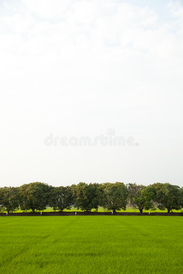 fields валы риса стоковая фотография rf