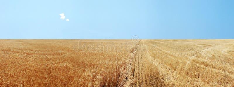 fields золотистая панорамная пшеница стоковое изображение rf