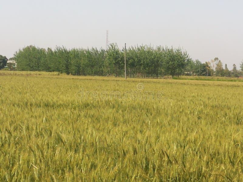 fields индийская пшеница стоковое изображение rf