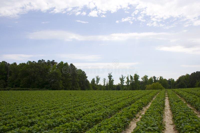 fields клубника стоковое изображение