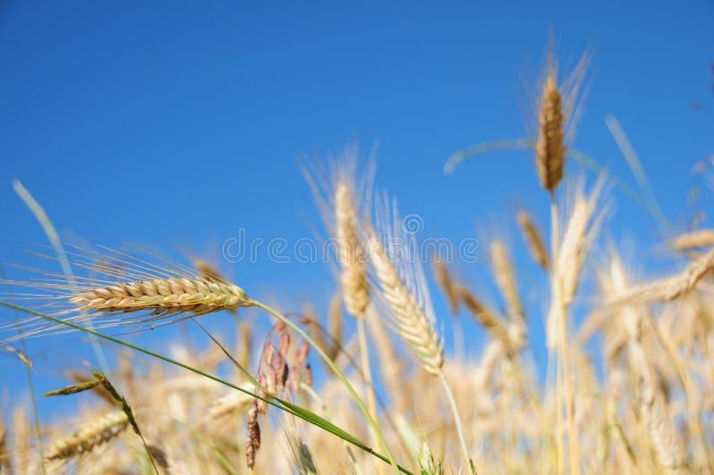 fields пшеница стоковая фотография