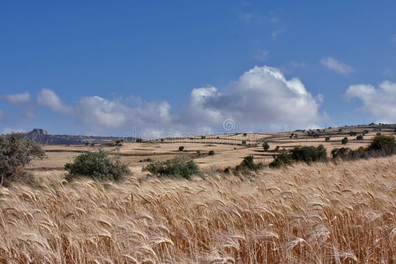 fields пшеница стоковые изображения rf