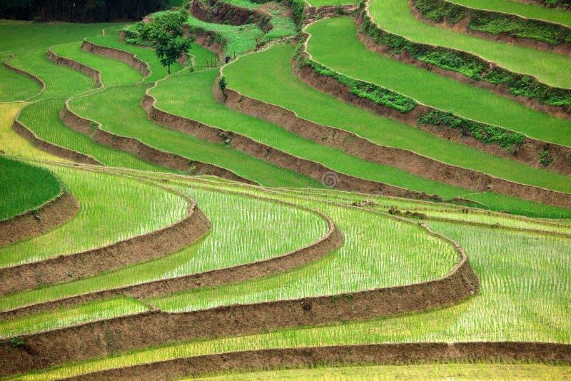 fields рис terraced стоковая фотография rf