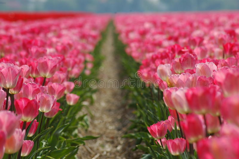 A fields of beautiful tulips stock photos