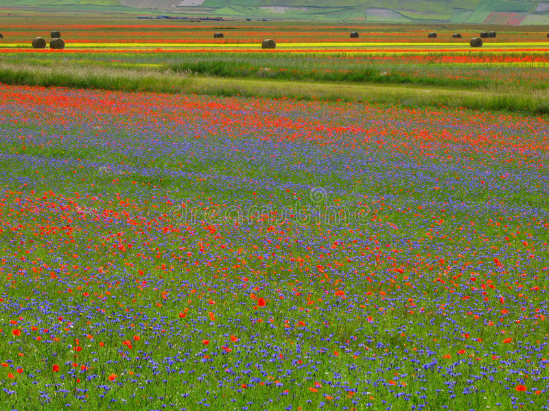 Fields in bloom royalty free stock photography