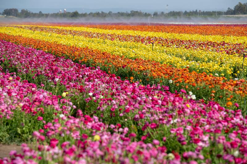 Fields of colorful buttercups. Israel royalty free stock photography