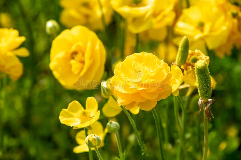 Fields of colorful buttercups. Israel royalty free stock image