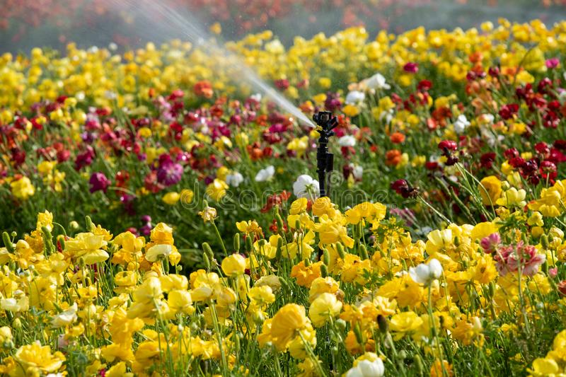 Fields of colorful buttercups. Israel stock images