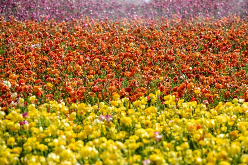 Fields of colorful buttercups. Israel royalty free stock images