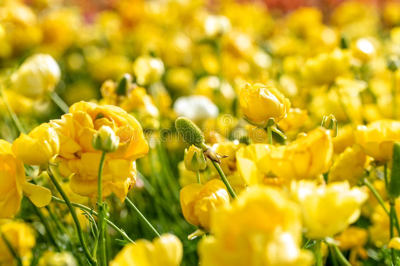 Fields of colorful buttercups. Israel stock image