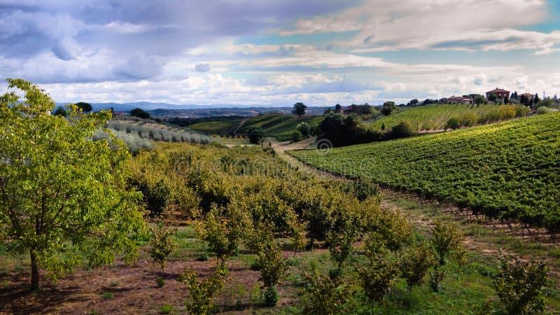 fields druvamontepulciano nära olive tuscan royaltyfria bilder