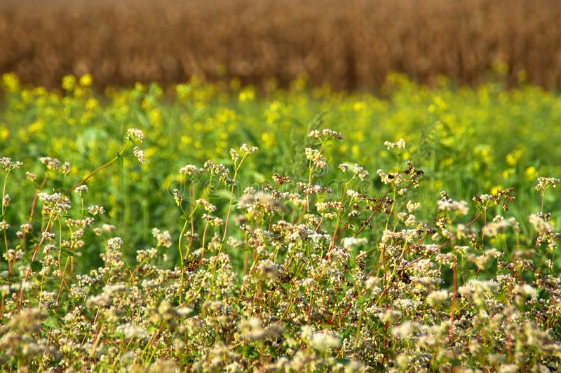 Fields In Early Autumn. Three layers of different crops on fields in early autumn: white buckwheat flowers, yellow canola flowers and brown dry maize stock photography
