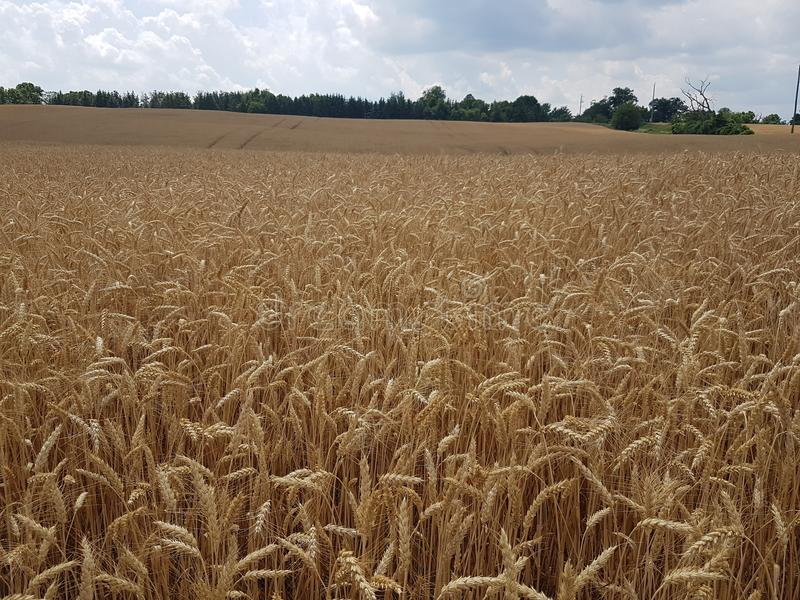 Wheat in the fields in the summer season. Fields full of wheat in the summer season in the meadow stock photography