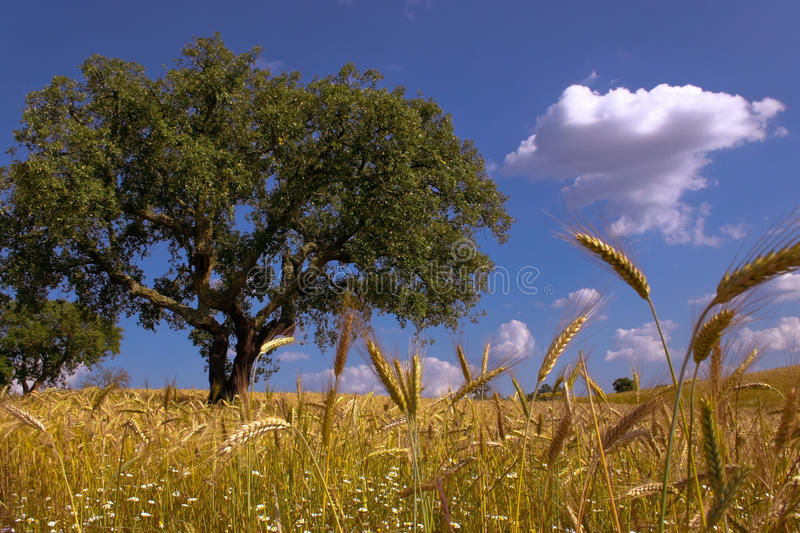 Fields of Gold royalty free stock photos