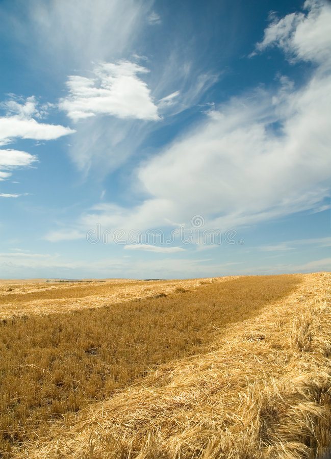 Fields of gold 2 royalty free stock photos