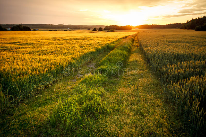 Fields of Gold. Beautiful sunset and a path going though the gold toned field stock images