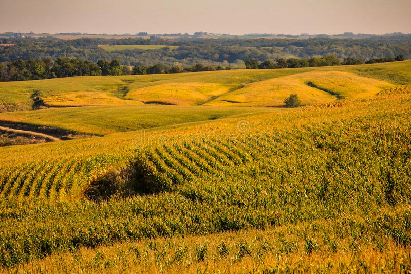 Fields of Gold in the Corn State of Iowa royalty free stock images