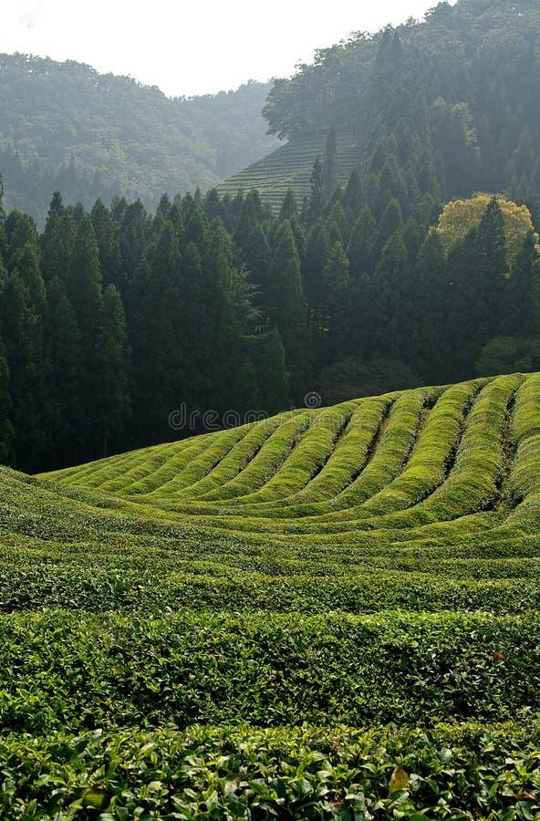 fields grön tea arkivfoto