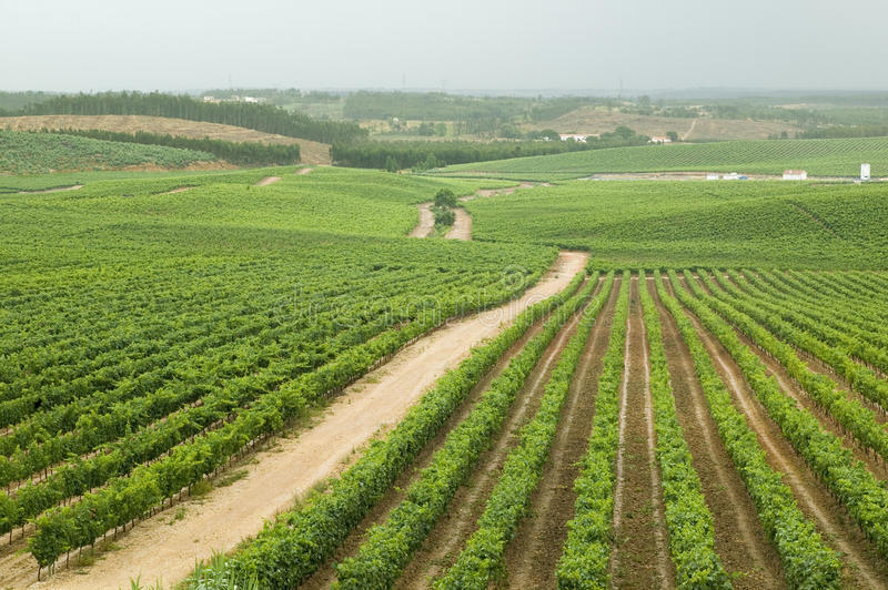 Fields of grape vineyards at Quintas da Vassala Vala Nova Vineyard in countryside of Portugal royalty free stock images