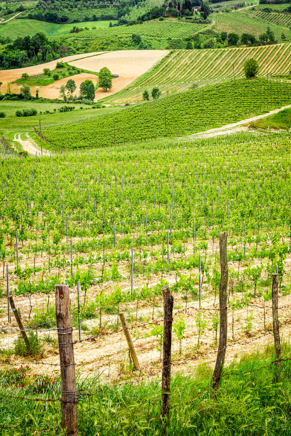Fields of grapes in Tuscany stock image