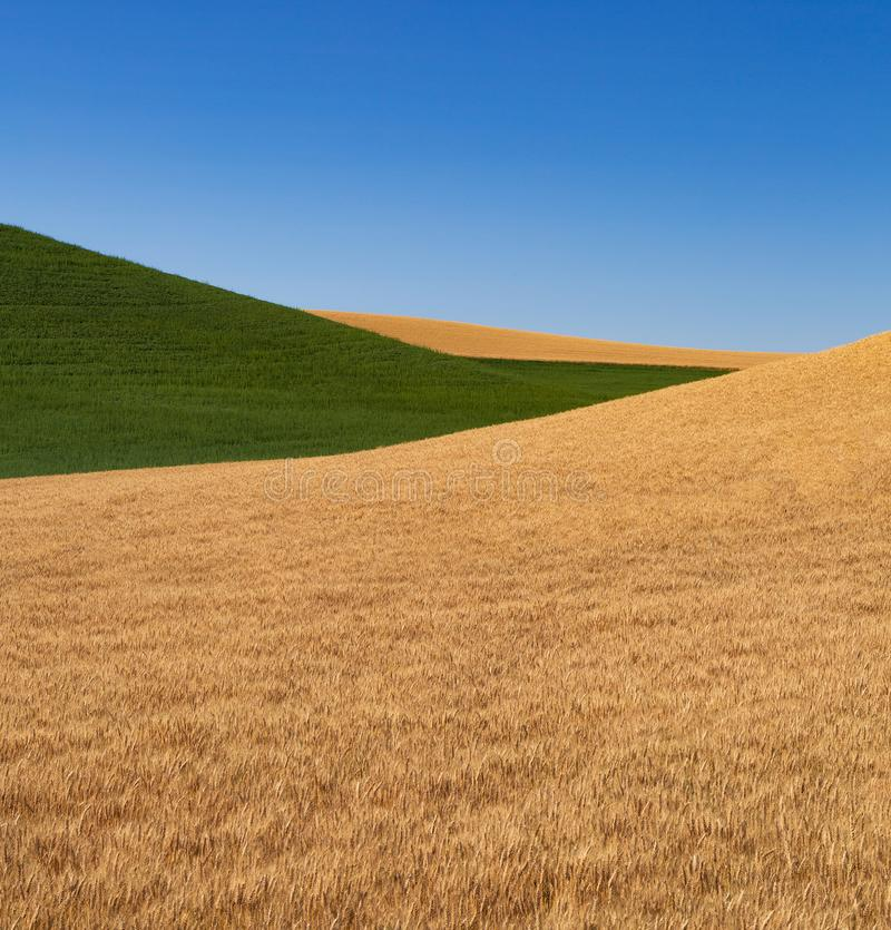 Fields of Green and Gold. Grain fields of gold and green and clear blue sky near Colfax, Washington stock images