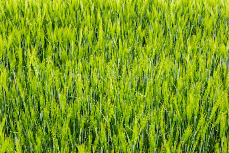 Fields of green wheat stock photos