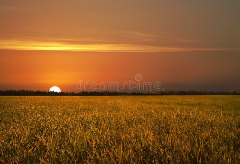fields guld- royaltyfria foton