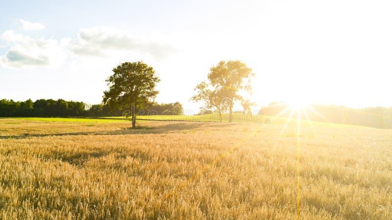 fields guld- vete arkivfoton