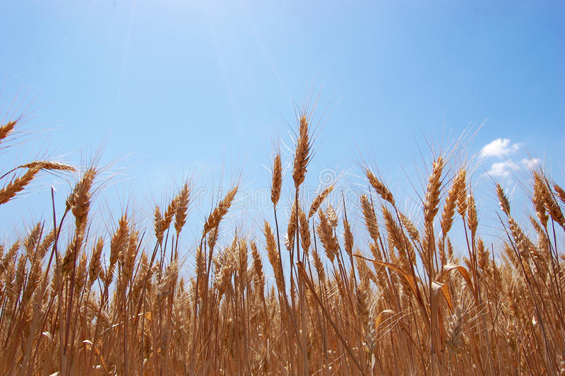 fields guld- vete arkivbilder