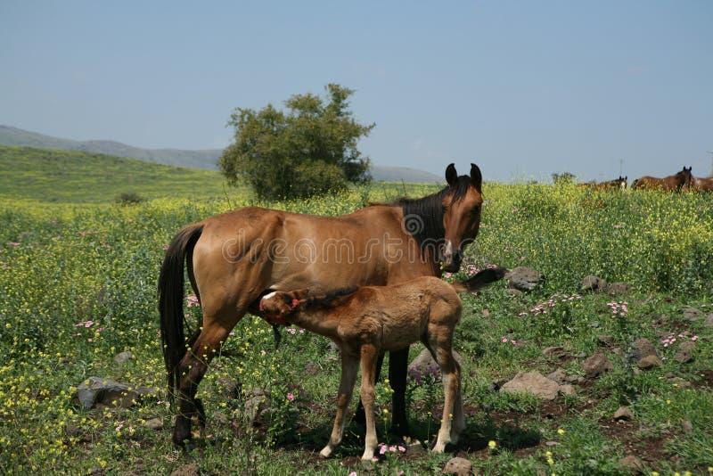 fields hästar israel royaltyfri bild