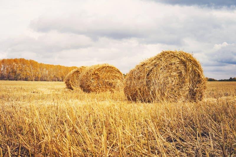 fields harvesting Åkerbrukt fält med himmel Lantlig natur i lantgårdlandet Sugrör på ängen Gul guld- skörd för vete i sommar C arkivbilder